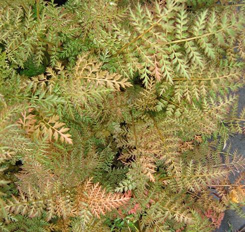 CorydalisCheilanthifolia_410new