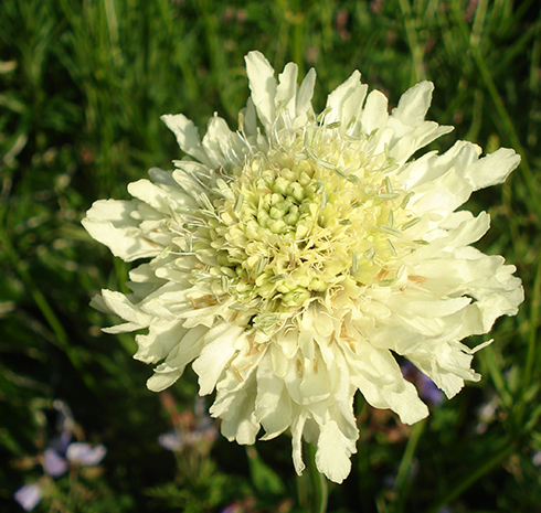 ScabiosaOchroleuca_1153new
